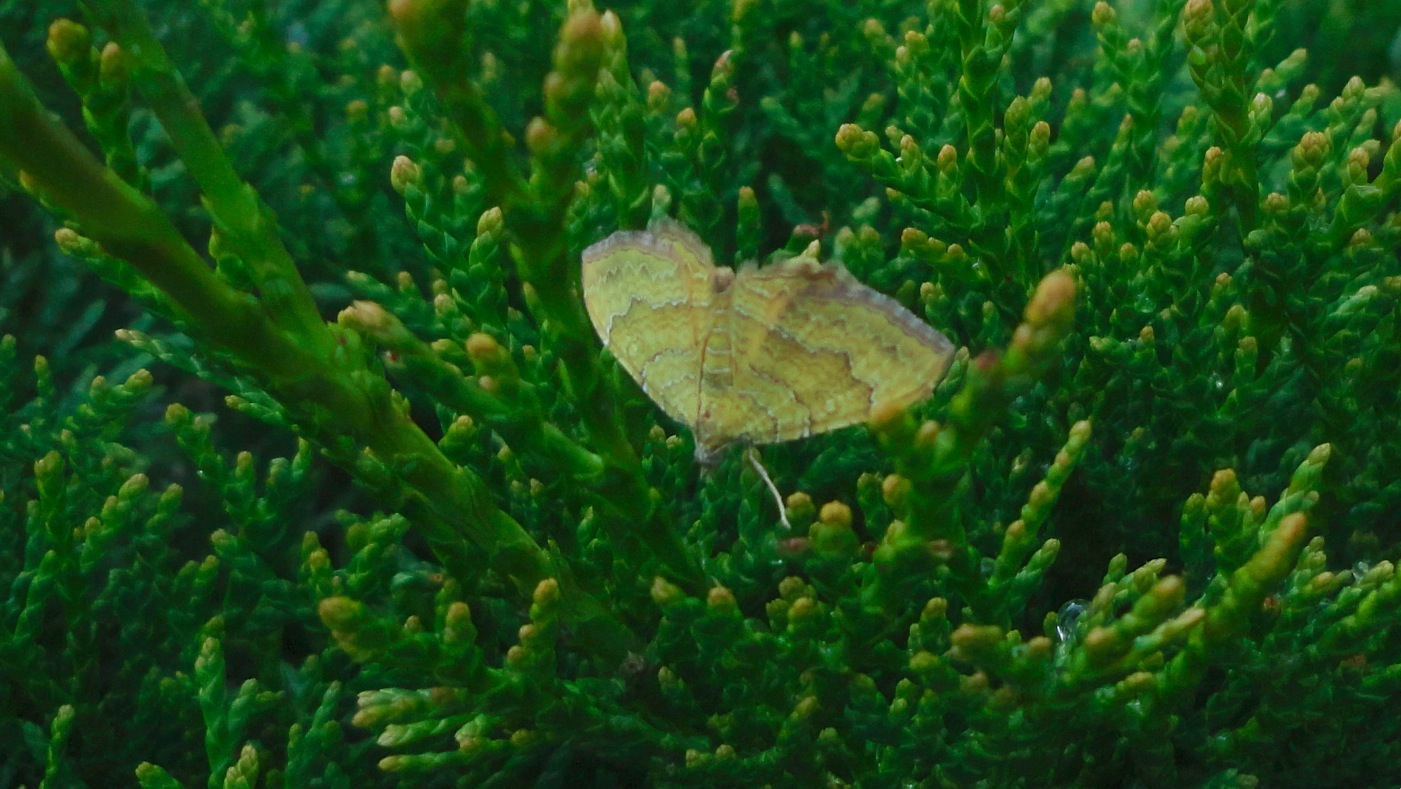 butterfly on cypress